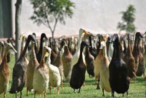 The-Indian-Runner-Duck-Parade-768x514